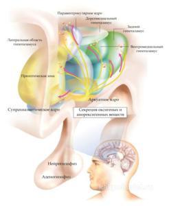Нейроанатомия питания