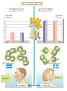 Энергетический баланс термогенез