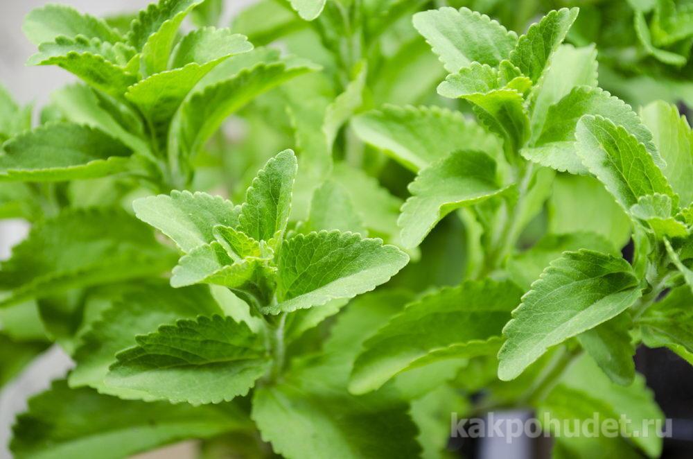 Stevia – польза и вред натурального заменителя сахара