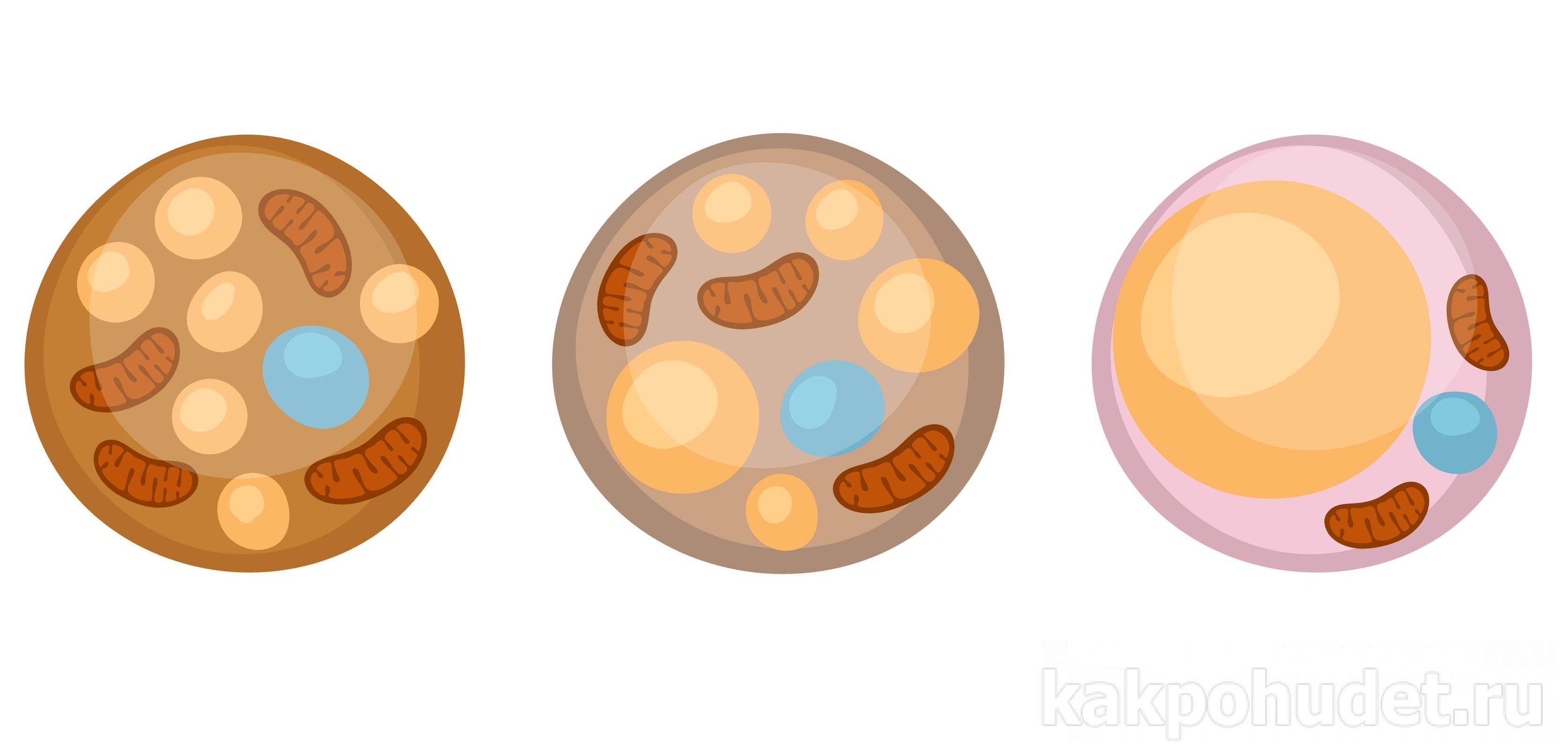 Виды жира в организме